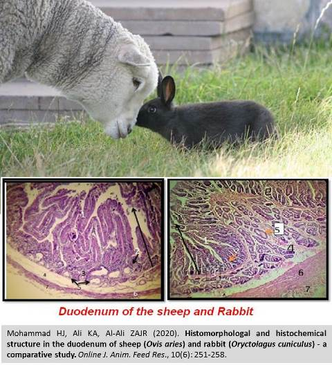 1198c-duodenum_of_sheep_and_rabbit--