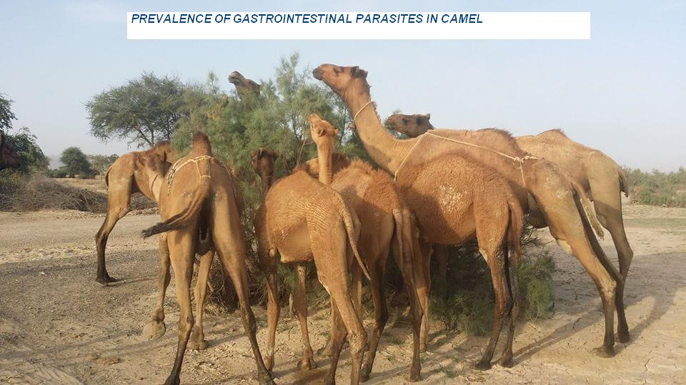 article_05-Gastro_intestinal_parasites_in_camel