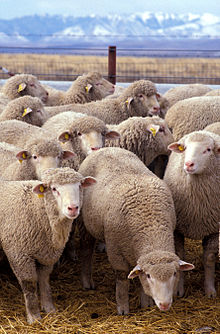Farta-Flock_of_sheep
